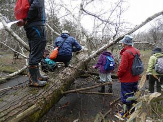 雪害によりドロヤナギの巨木が倒れていました