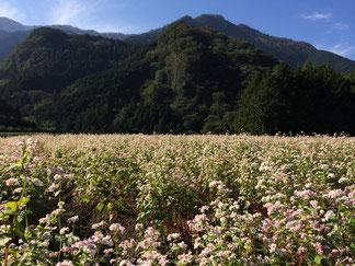 高値ルビー(蕎麦の花)が咲いています。10/30現在