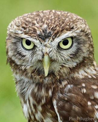 animals factsheet little owl