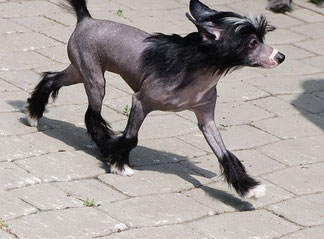 Китайская хохлатая собачка самый экстравагантный компаньон