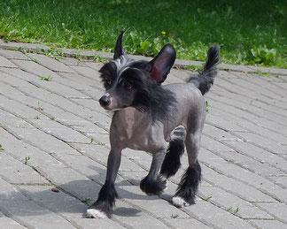 китайская хохлатая собачка самая красивая собака в мире купить щенка  Питомник китайских хохлатых Perfetto Amico Украина Днепропетровск