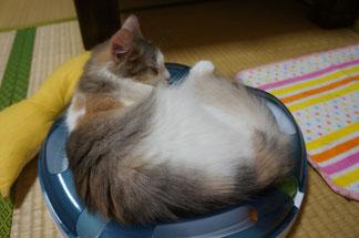 ヴィヴィちゃん猫鍋?
