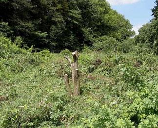 伐採されたマユミの大木