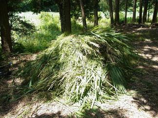 刈り取ったヨシの山 林床部