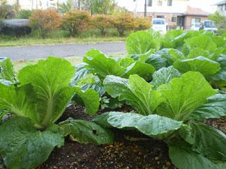 白菜の葉も大きく成長しています