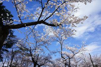 空の青とサクラ色、老木の黒のコントラストが清々しい