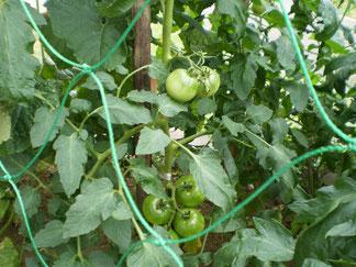トマトも順調に育っています