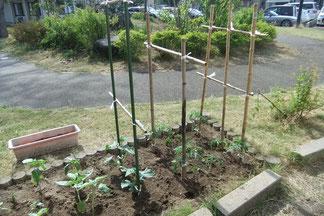 こちらには「ひまわり」「キュウリ」「トマト」を植えました