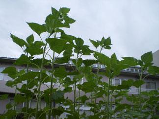 中庭のヒマワリ。背丈以上に大きく伸びています