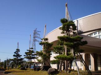 玄関前の松の木も冬支度を終えました