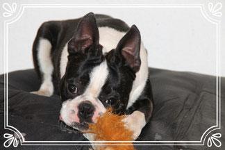 Boston Terrier Deckrüde/ Boston Terrier mittlere Gewichtsklasse/ Boston Terrier Welpen!
