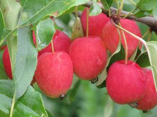 саженцы яблони райское яблочко