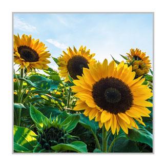 """Bildheizung """"Sonnenblumen Feld"""", 300 Watt, 60x60cm, hier mit Silberrahmen matt, zum Vergrößern anklicken!"""