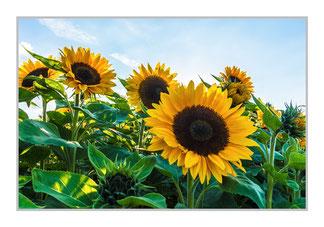"""Bildheizung """"Sonnenblumen Feld"""", 450 Watt, 90x60cm, hier mit Silberrahmen, zum Vergrößern anklicken!"""