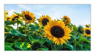 """Bildheizung """"Sonnenblumen Feld"""", 700 Watt, 110x60cm, hier mit Silberrahmen, zum Vergrößern anklicken!"""