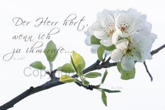wilde Birnenblüte