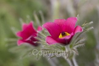 blühende rote Blume