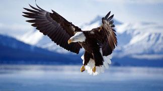 aigle emblème synerj health - pygargue à tête blanche - bled eagle