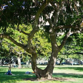ハワイオアフ島カピオラニ公園のヨガの木の写真
