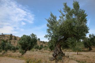 Olivos empeltre en la Vall d´Algés
