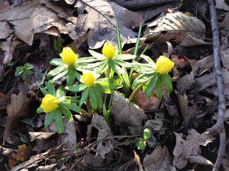 Drei Blauflügel-Prachtlibellen fliegen über rankende Wasserpflanzen in einem Bach