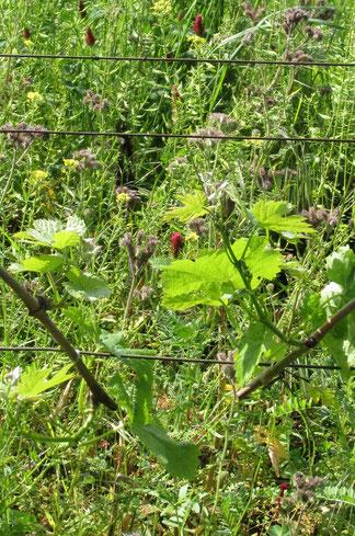 A szőlőtőkék, fák, fűfélék, virágok, növények, cserjék és egyebek vegyes telepítése számos apró állatnak ad életteret. A virágok vonzzák a hasznos rovarokat. Kialakul egy biotóp.