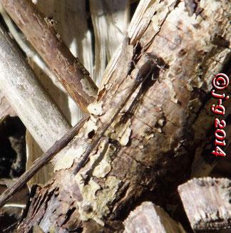 Winterlibelle -  Die alten, überwinterten Tiere haben im Frühjahr leuchtend tiefblaue Augen.