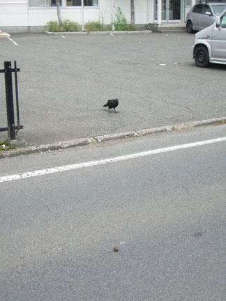 通り過ぎる自動車を待つ カラス君