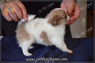 Nobel des Petits Aztèques, Chihuahua de qualité