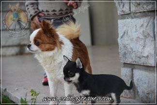 Adulte et chiot Chihuahua de qualité