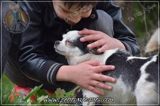 Le choix de son élevage chihuahua