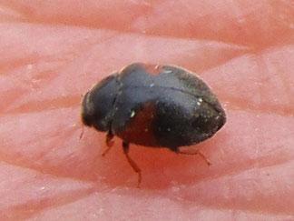 Ladybird Scymnus interruptus – probably!