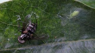 Spider Nigma walckenaeri with prey