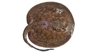 Freshwater ray from Guyana