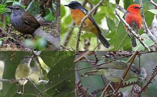 Algunas de las especies y subespecies de aves descubiertas en varias islas de Indonesia. / Fotos:  Philippe Verbelen, James Eaton/Birdtour Asia