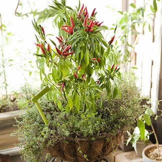 鉢に植わる唐辛子