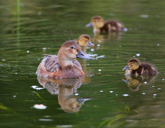 Tafelenten-Familie (Foto: Zdenek Tunka)