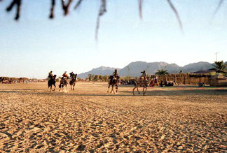 Kamelrennen am breiten Strand von Dahab