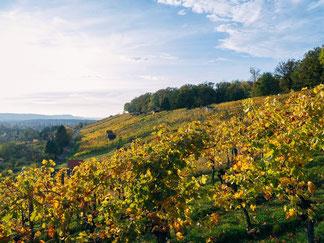 Weinberge von Jungwinzer Fabian Rajtschan vom Weingut 70469 in Stuttgart Feuerbach