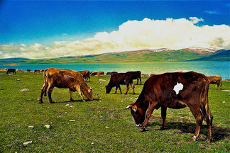 die Kühe waren zum erstenmal auf der Weide