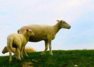 Weckruf am Morgen, das blöcken der Schafe
