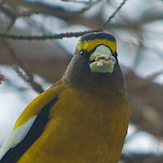 A Big Green-beaked Bird - a Male Evening Grosbeak.