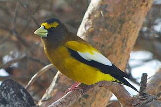 A Male Evening Grosbeak with beak in breeding color.