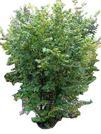 Der Haselnussstrauch produziert an seinem schnell wachsenden weites Wurzelwerk und bildet sehr früh Trüffelfruchtkörper.  Die Haselnüsse werden im September reif und Sie können bevor Sie Trüffel