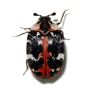 Anthrenus scrophulariae scrophulariae (Linnaeus, 1758)