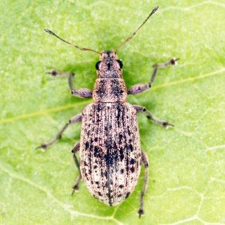 Polydrusus cervinus (Linnaeus, 1758)