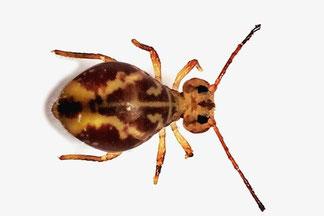 Dicyrtomidae