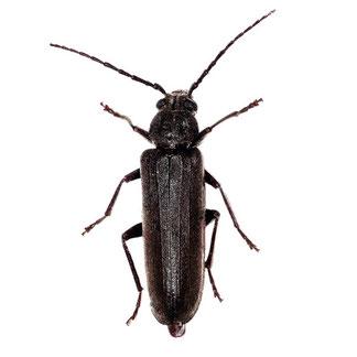 Arhopalus rusticus (Linnaeus, 1758)