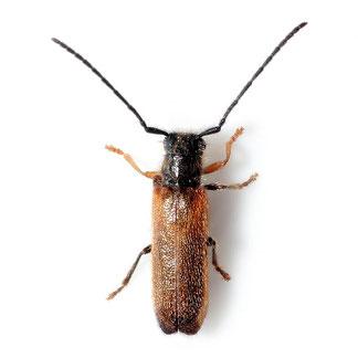 Tetrops praeustus (Linnaeus, 1758)