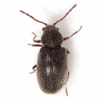 Dryophilus pusillus (Gyllenhal, 1808)